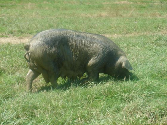 un cochon noir de Bigorre